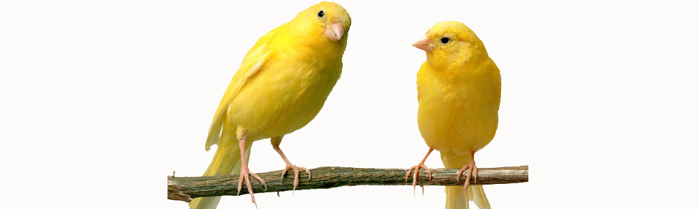 The Canaries: An examination in argumentation